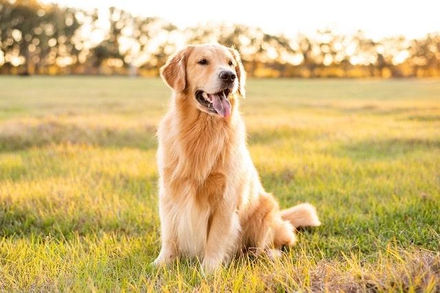 chien sensible